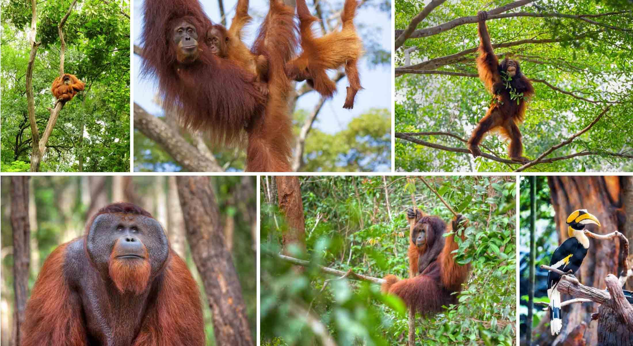 the-mighty-orangutans-of-borneo-gallery-2
