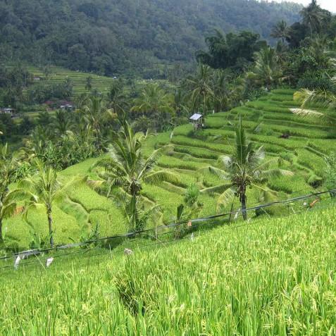 Recreational & Cultural Excursions - Rice Terraces - Zen Resort Bali