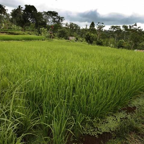 Bagus Jati Health & Wellbeing Retreat, Bali - Rice Fields