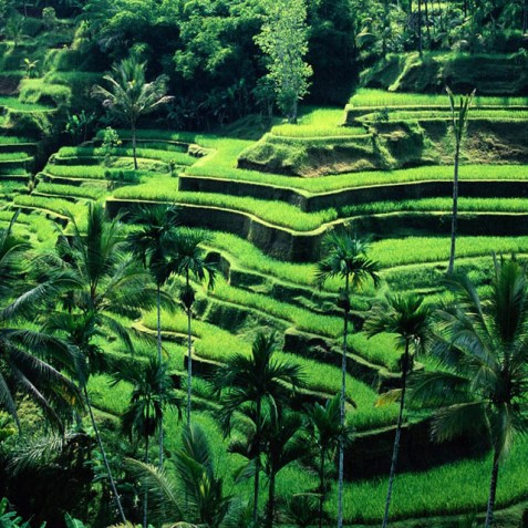 Rice Terraces - Ubud, Bali, Indonesia